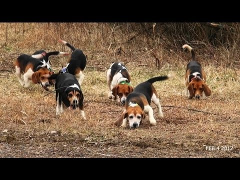 Skyview s Beagles Rabbit Hunt With Fortier And Reed No SHow Ron
