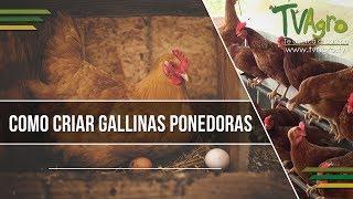 Como Criar Gallinas Ponedoras - TvAgro por Juan Gonzalo Angel