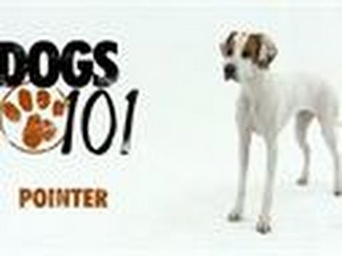 Dogs 101 Pointer