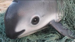 Vaquita Dolphin