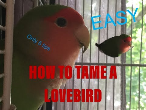 HOW TO TAME A LOVEBIRD... EASY WAY!