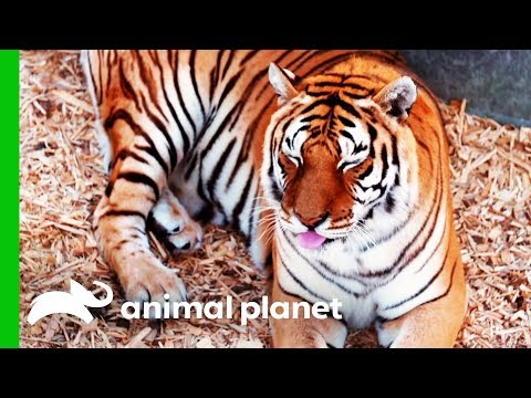 This Rescued Tiger Desperately Needs a Manicure Dr. Jeff Rocky Mountain Vet