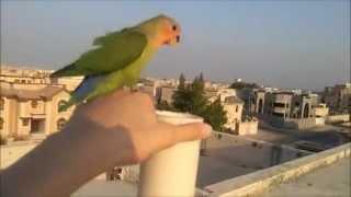 طائر love birds مدرب