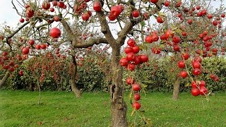 Everything You Need To Know About Apple Trees - Including Growing from Seed vs Grafting