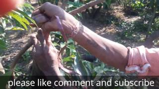 Mango Plant Grafting Method