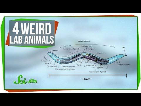 4 Weird Lab Animals