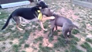 Pit Bull Vs German Shepherd