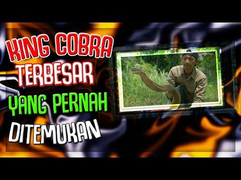 Wow !! 10 Ular King Cobra Terbesar Yang Pernah Ditemukan Di Dunia