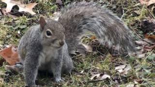Eastern Grey Squirrel - HD Mini-Documentary
