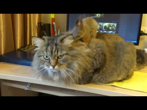 Squirrel plays on top of cat