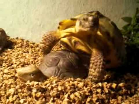 Xxx Mp4 Schildkrötensex Schildgröte SEX Fickt Mit Tonfigur Absoluter Hammer FUN XXX 3gp Sex