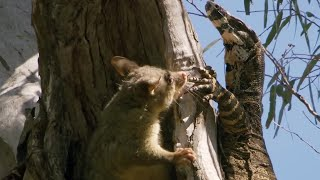 Possum fights Monitor Lizard to protect babies | BBC Earth