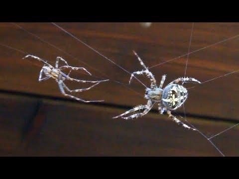 Xxx Mp4 AMAZING SPIDER SEX MOVIE A Spider Man Copulates With Spider Woman Animalsex Porn Trailer 3 XXX 4 3gp Sex