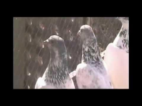 Pakistan Sialkot Pigeons