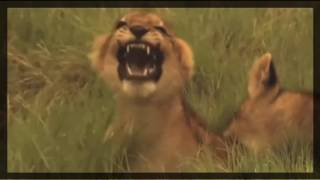 National Geographic  -  The Power of Lionesses ( Lions Documentary )