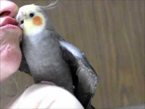 NEW My Cockatiel Talking and telling the world how it is.