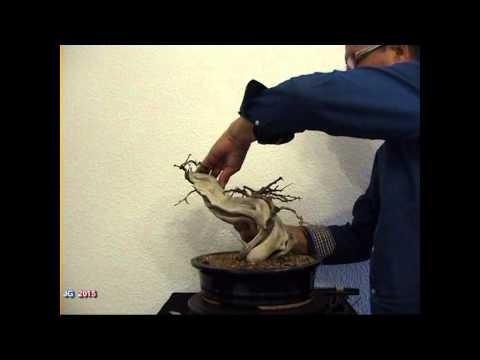 PUNICA GRANATUM TANUKI Granado Nejikan 1ª Parte 2015 Tornillo de anclaje Alambrado poda brotació