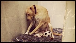 Saddest Dog In The World, Lana, Pictured After Returned To Shelter