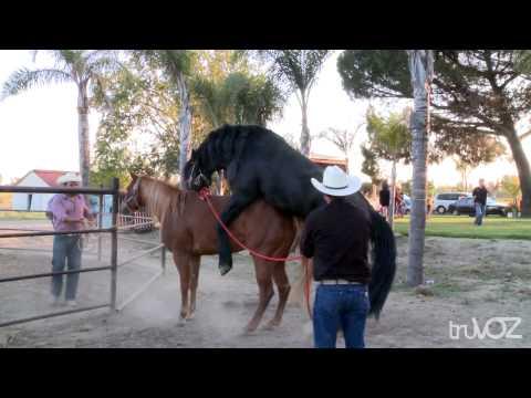 BREEDING HORSE MAQUILAS DE CABALLOS ANDALUZES