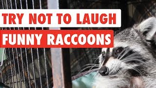 Try Not To Laugh | Funny Raccoon Video Compilation 2017
