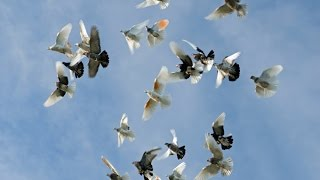 Birmingham Roller pigeons rolling 03459442750 Zain Ali Farming in Pakistan roller pigeon