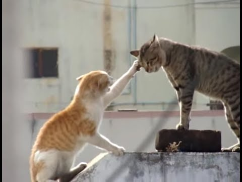 Real Cat Fight ( Watch With Sound)