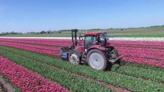 Tulpen koppen 2016 bij de firma ''Slot Tulips''