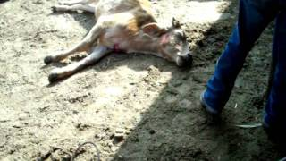 killing a cow for dinner