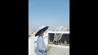 meena dag aur asal gulabi pigeons sath main sherazi or qasid flying kite 1/2