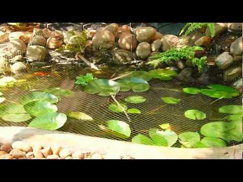 Our Koi Pond - Located at Kottayam, Kerala, India