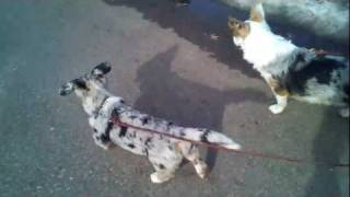 First Walk for corgi puppy