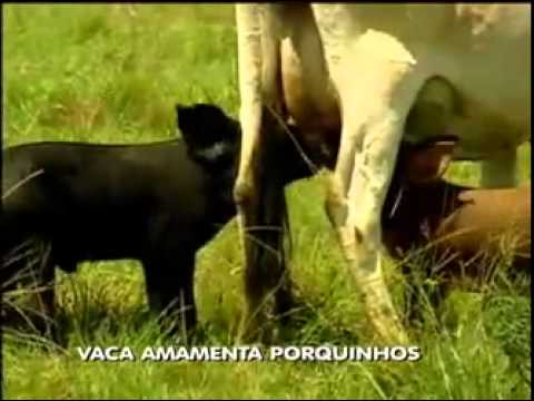 VACA amamenta FILHOTES de PORCOS no RS