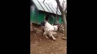 Hen big hens play