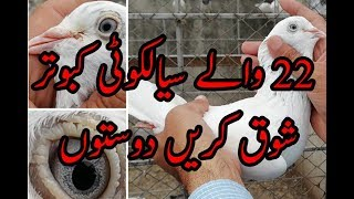 Sialkoti old breed 22 wala kabootar pure high flying pigeons