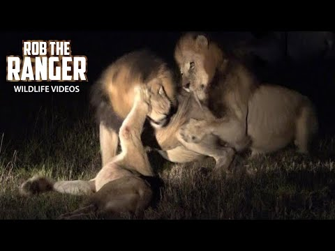 Disturbing Footage Of Lions Fighting To The Death Not For Sensitive Viewers 4K Video