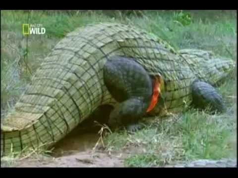 Ataque Animal Ep 4 Crocodilo