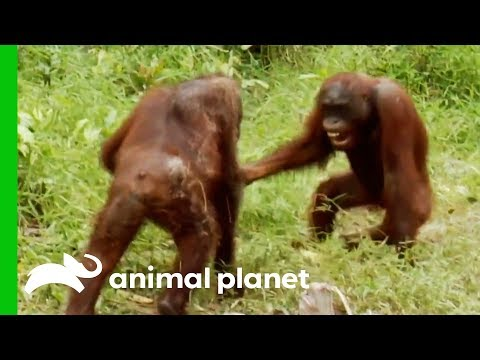 Xxx Mp4 Orangutans Fight For Dominance While Leader Hamlet Is Trapped Orangutan Island 3gp Sex