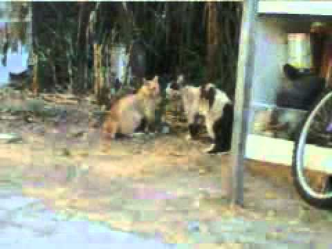 pelea de gatos parecian perros