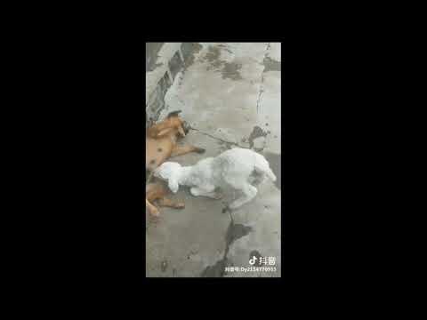 Xxx Mp4 Goats Suck The Dog S Sensitive Organ 3gp Sex