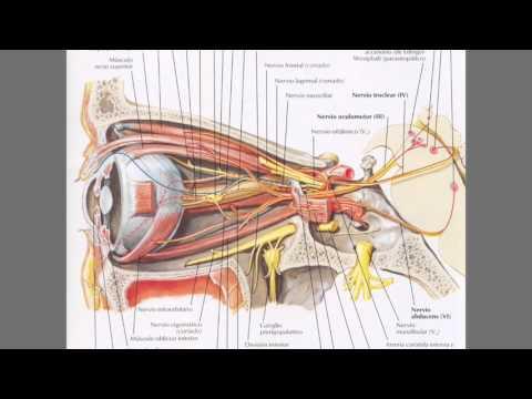 Pares craneales 3, 4 y 6: Nervios oculomotor, troclear y abducens ...