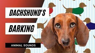 The Animal Sounds: Dachshund Barking - Sound Effect - Animation