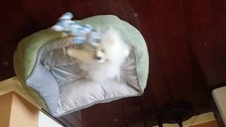 Cute White Pomeranian Puppy Play Time