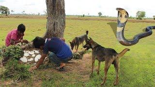 Smart Dogs Save Boys and Help Fight King Cobra - Battle Dogs Vs King Cobra