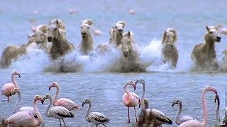 Wild Horses Run into Flamingos Feeding | BBC Earth