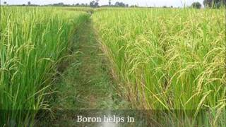 Nutrient deficiency in Paddy
