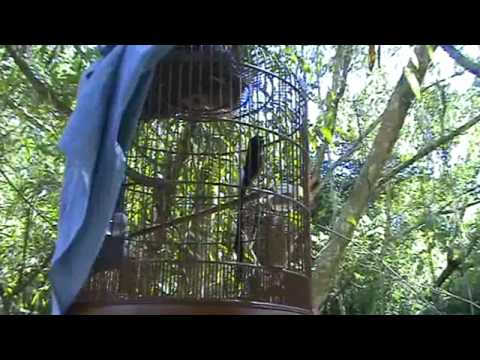 Murai Batu Shama Vs Wild Shama Video 04