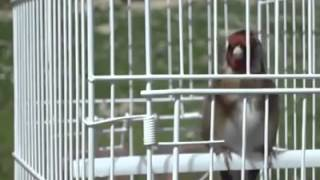 Goldfinch Singing Download Mp3 Mp4 3GP HD Video