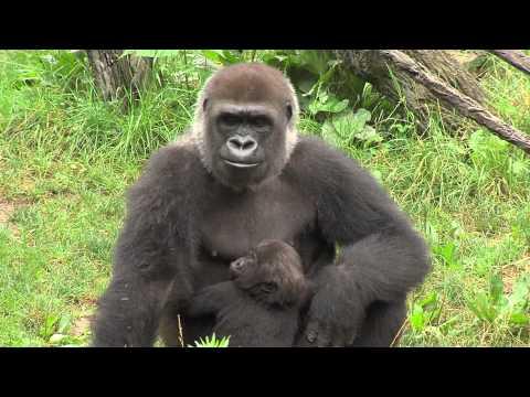 Gorillafication Week 18 Best Baby Gorilla Video Ever - Cincinnati Zoo