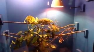Inctedible chameleon mating fight (Chamaeleo calyptratus)