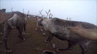 Poron näkökulmaa kaarretilanteesta - Corral from a reindeer's point of view.